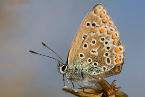 Common blue