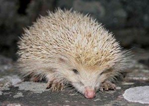Alderney blonde hedgehog